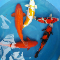 View more to be delighted @ www.kohaku-koi-house.com