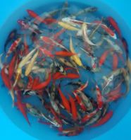 More Beni koi (full red) and Shiro Utsuri (Black and white) to select from. Nice koi not to be missed.