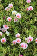 """Portulaca Grandiflora Cultivars """"White Pink"""""""