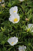 """Portulaca Grandiflora Cultivars """"White"""""""