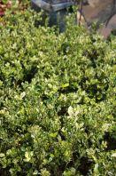 "Gardenia Jasminoides ""Variegata"""