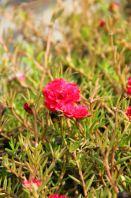 "Portulaca Grandiflora Cultivars ""Red"""