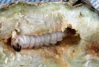 食品蛀虫控制