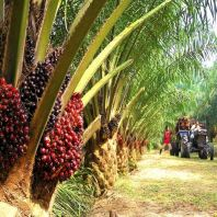 Planters urged Gov. to expand export palm oil, China may rescue the price