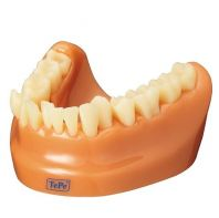 TePe Dental Model