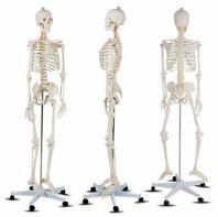 Life-Size 170 cm Human Skeleton Model �������ģ�� 170cm
