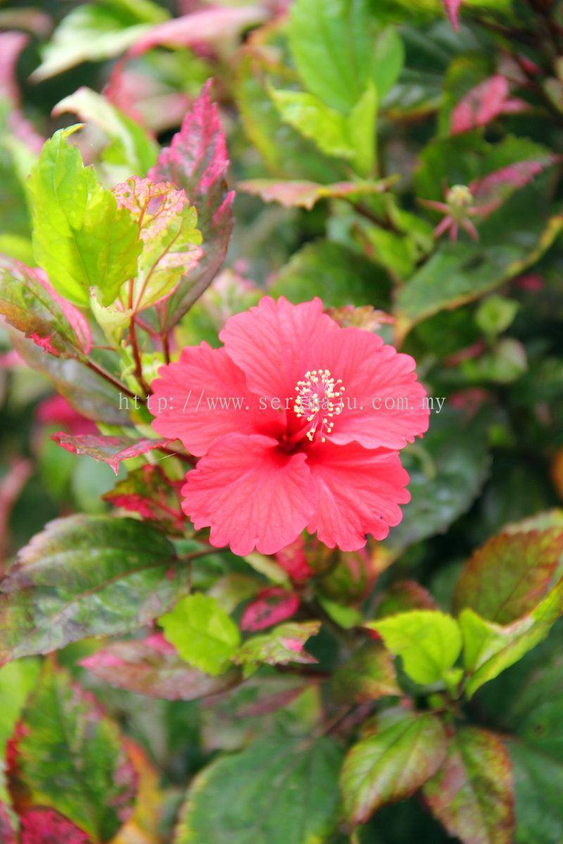 johor hibiscus rosa sinensis cooperi shrubs from tapak. Black Bedroom Furniture Sets. Home Design Ideas