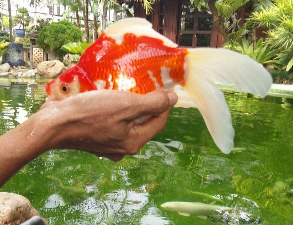 Tamasaba Gold Fish From Japan Kohaku Koi House Sdn Bhd