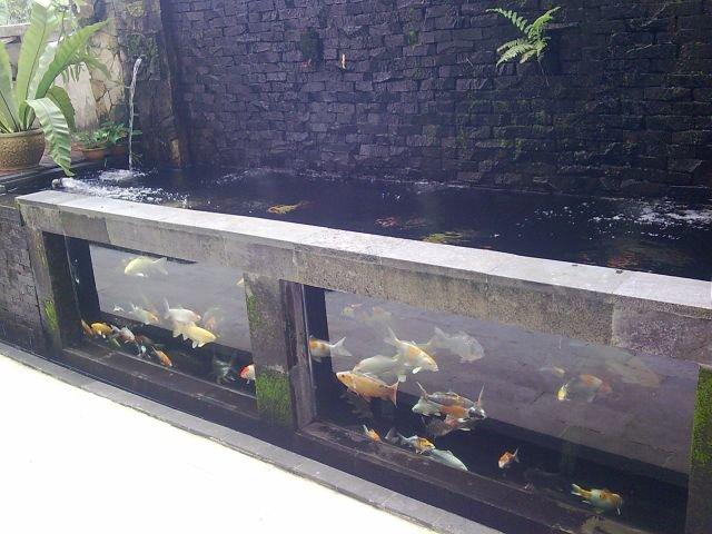 Koi in glass tank kohaku koi house sdn bhd johor for Koi pond tank